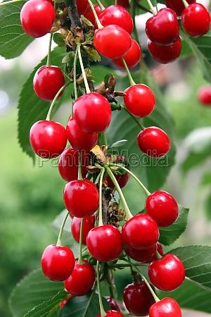 sweet sour cherries