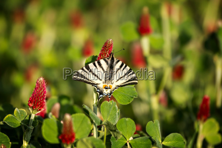 beautiful swallowtail papilio machaon