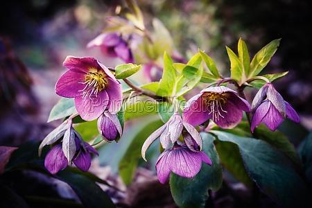 violette hellebore blume