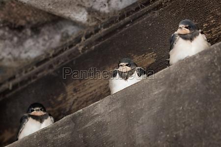 drei junge sitzende schwalben