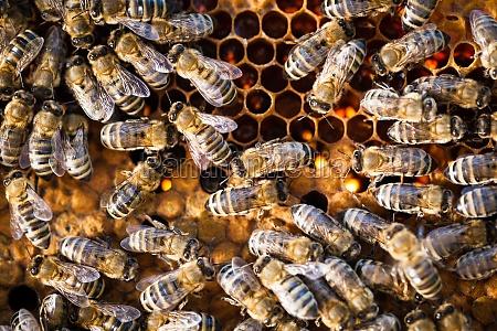 makroaufnahme der bienen auf einer wabe