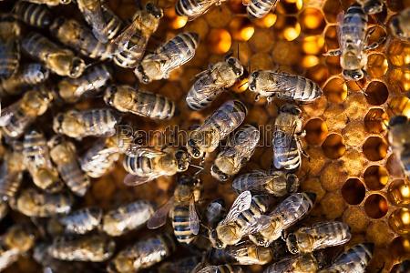 makro schuss von bienen schwaermen auf