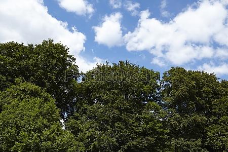 treetops of broadleaf trees against a