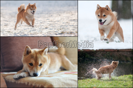 collage of shiba inu dog in