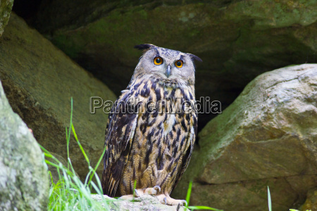eagle owl owl animal bird nature
