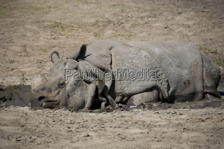 rhino resting in a clearing