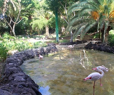 drei rosa flamingos stehen im wasser