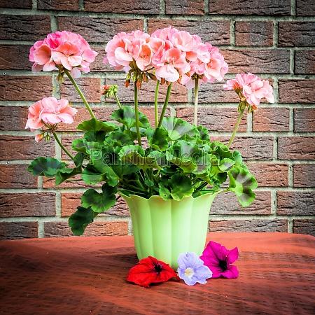 geranium on the balcony table