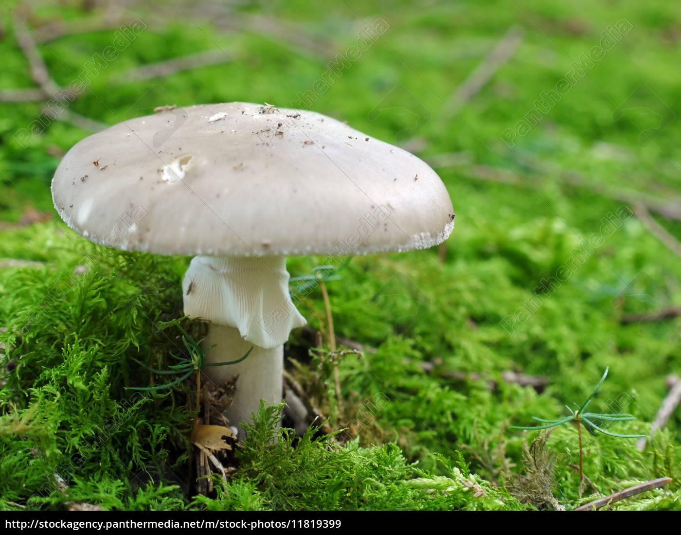 knollenblätterpilz, amanita, phalloides - 11819399