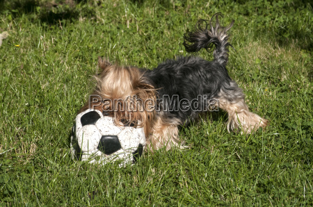 yorkshire terrier and football