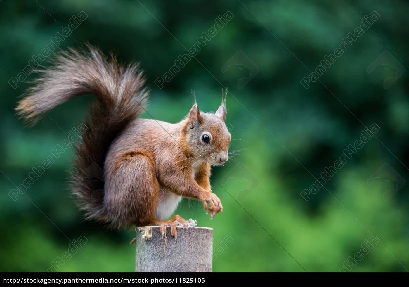 eichhörnchen, sciurus, vulgaris, bild, 6 - 11829105