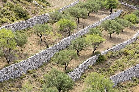 olivenbaeume auf karpathos griechenland