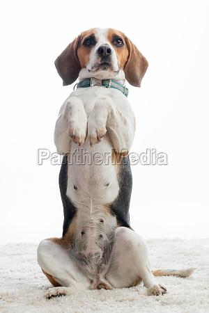 beagle makes males
