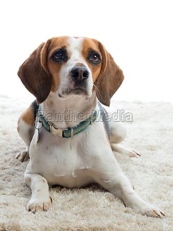 attentive beagle