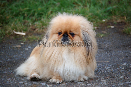 little pekinese
