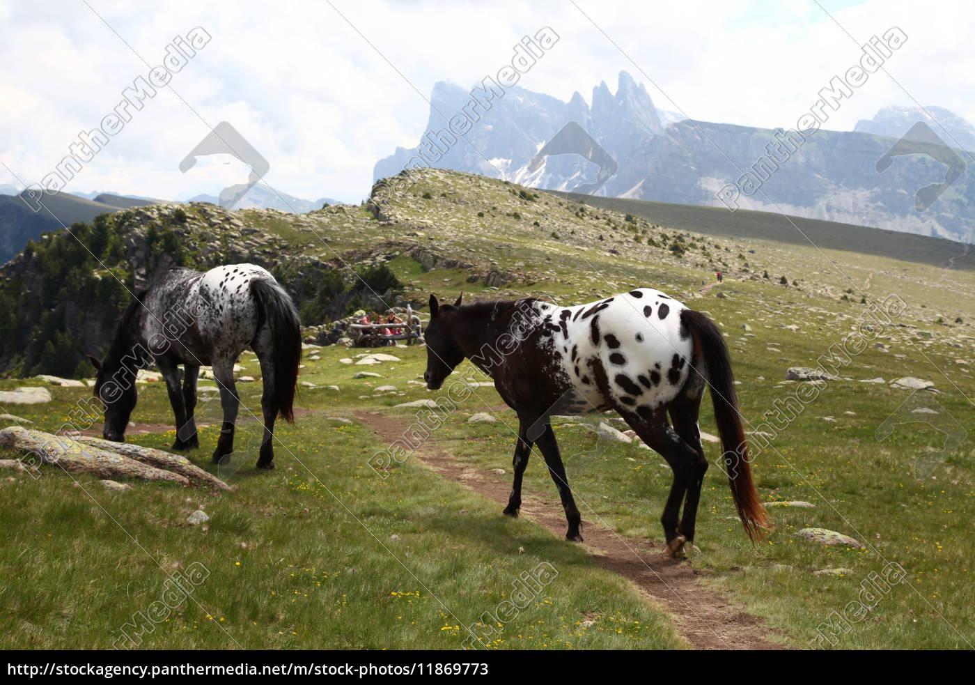 Südtirol, Pferd, Dolomiten, Pferde, Urlaub, Natur - 11869773