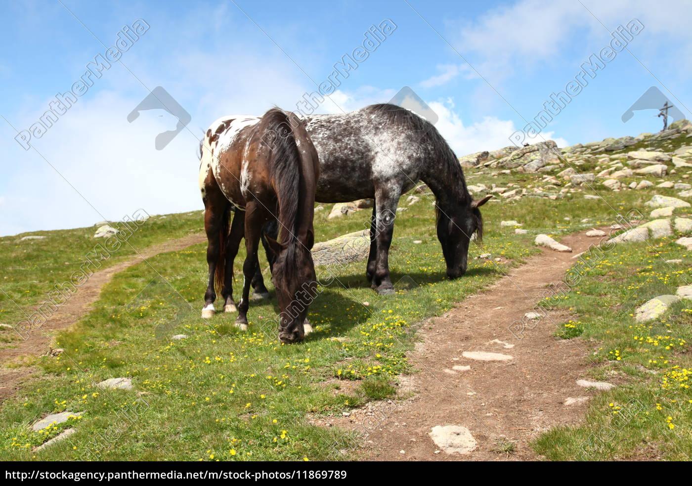 Südtirol, Pferd, Dolomiten, Pferde, Urlaub, Natur - 11869789