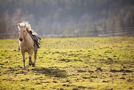beautiful saddled horse galloping towards you
