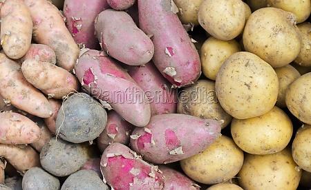 potato varieties potato variety different blue