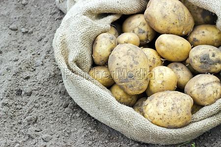 bag vegetables fresh yellow potatoes harvest