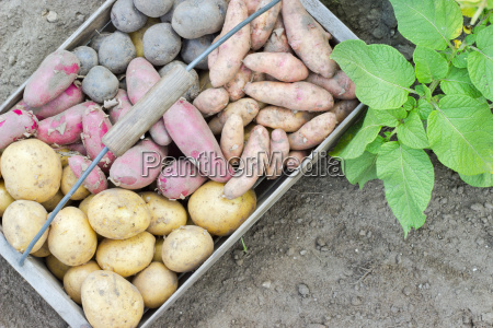 potato varieties potato variety different blue