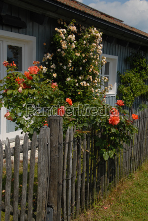 roses at the fence