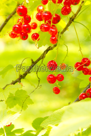 red currant fruit on a bush