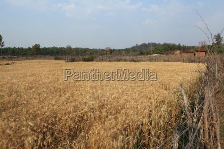 getreidefeld und landwirtschaft in indien