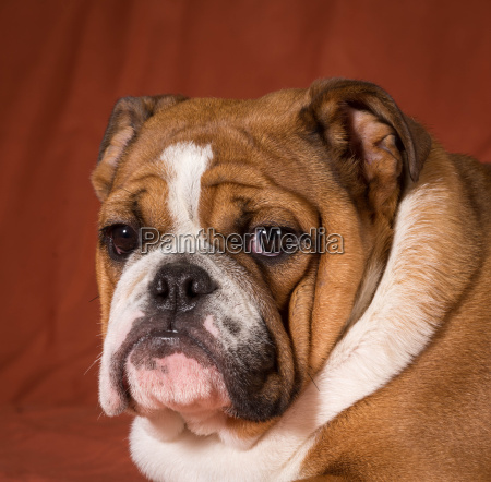 englischer bulldoggewelpe