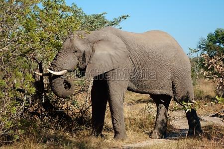 fuettern des afrikanischen elefanten