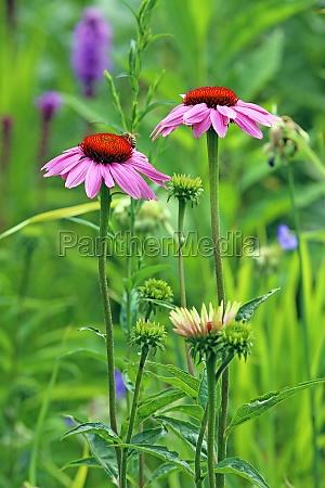 purpursonnenhut echinacea purpurea