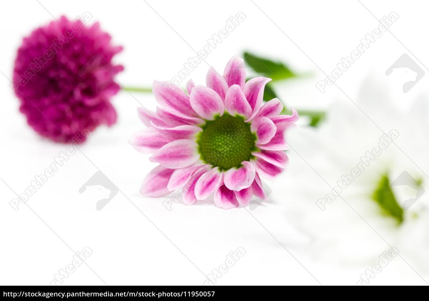 Pinke Und Weisse Blumen Lizenzfreies Bild 11950057