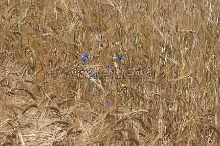 cornflowers in corn field