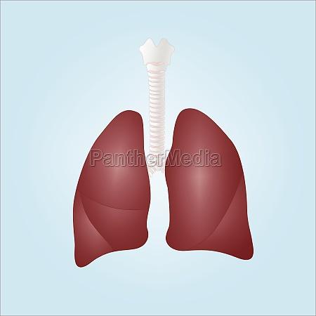 realistische darstellung von menschlichen lungen