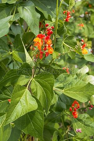 runner beans phaseolus coccineus flowering