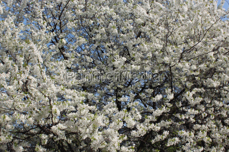 tree of blossoming cherry