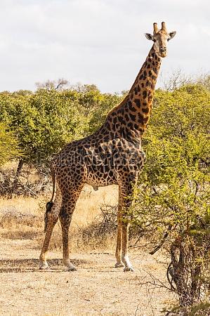 kruger nationalpark giraffe