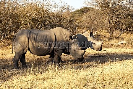 kruger national park white rhino
