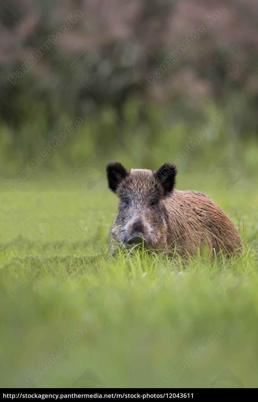 wildschwein, auf, einer, lichtung, in, freier, wildbahn - 12043611