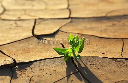 pflanze waechst durch trockene rissige erde