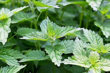 nettle plants nettle medical plants green