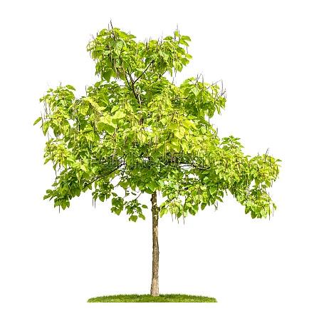 freigestellter trompetenbaum mit fruechten vor weissem