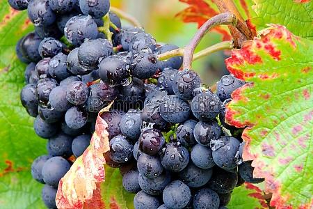 weintraube rot grape red 24