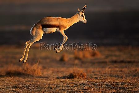 springbok antilope springen