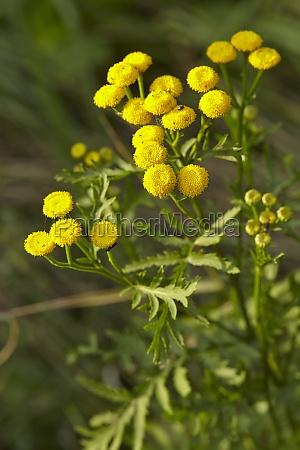 flora tansy
