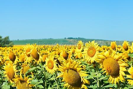 sunflower flowers on field in caucasus