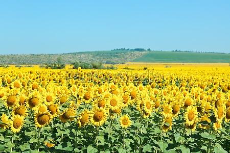 yelow sunflower fields in hill of