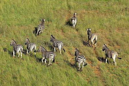 ebenen zebras
