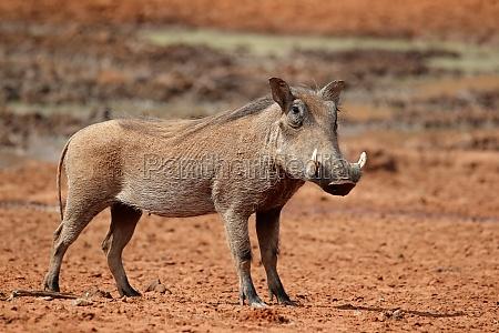 tier saeugetier wild afrika wildlife warzenschwein