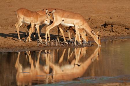 impala antilopen trinken